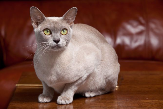 8 Most Affectionate Cat Breeds That Just Love Cuddles