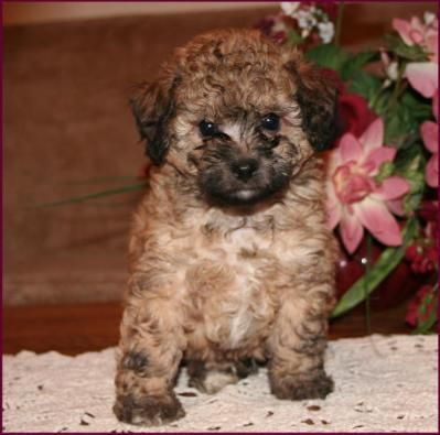 Poochon Bichpoo Bichon Poodle Puppies For Sale Iowa Bichon Frise