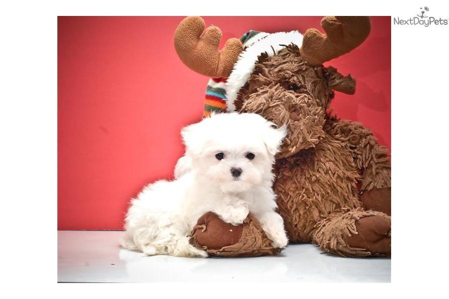Meet Teacup Dolly A Cute Maltese Puppy For Sale For 795 Teacup