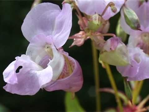 Impatiens Bach Flower Remedy Bach Flower Remedies Flower Remedy Bach Flowers