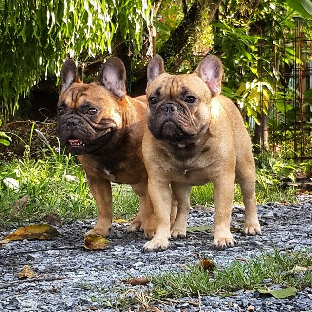 Dad And Son Funny Dog Photos French Bulldog Animals