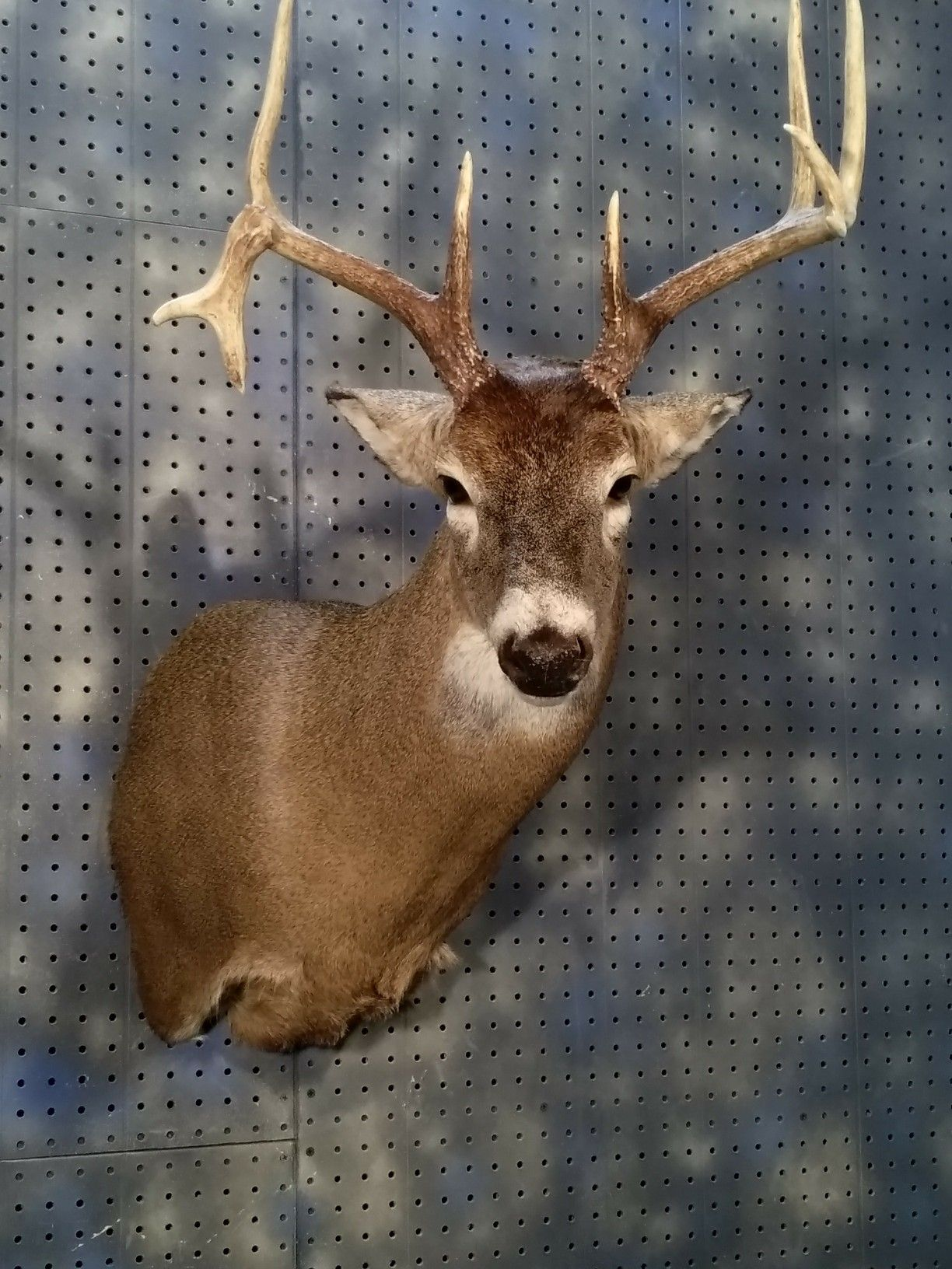 Whitetail - head down aggressive - Fur, Feathers, and Fins Taxidermy
