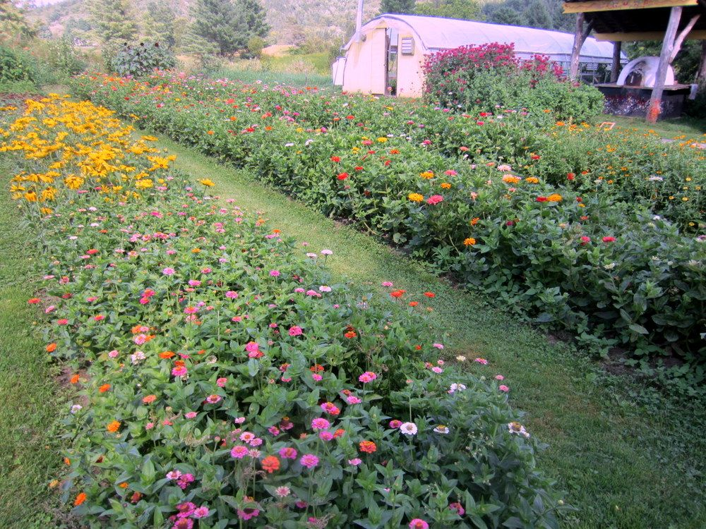 Rows of pickyourown flowers at Wellspring Farm in