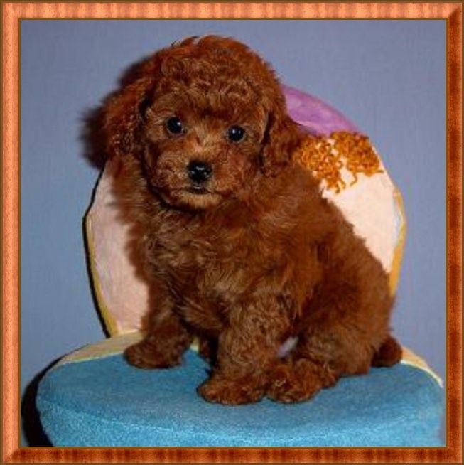 Toy Poodle Red Tiny Toy Poodle Puppy Male For Sale By Akc