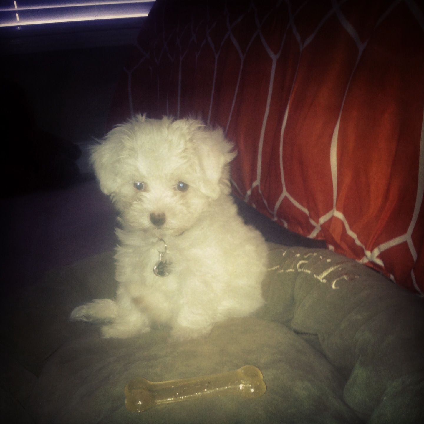 My sweet Charles Bass! ) maltipoo (With images) Puppy