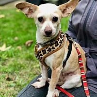 Pin By Chris Gallagher On Adoptable Pets Oregon Chihuahua
