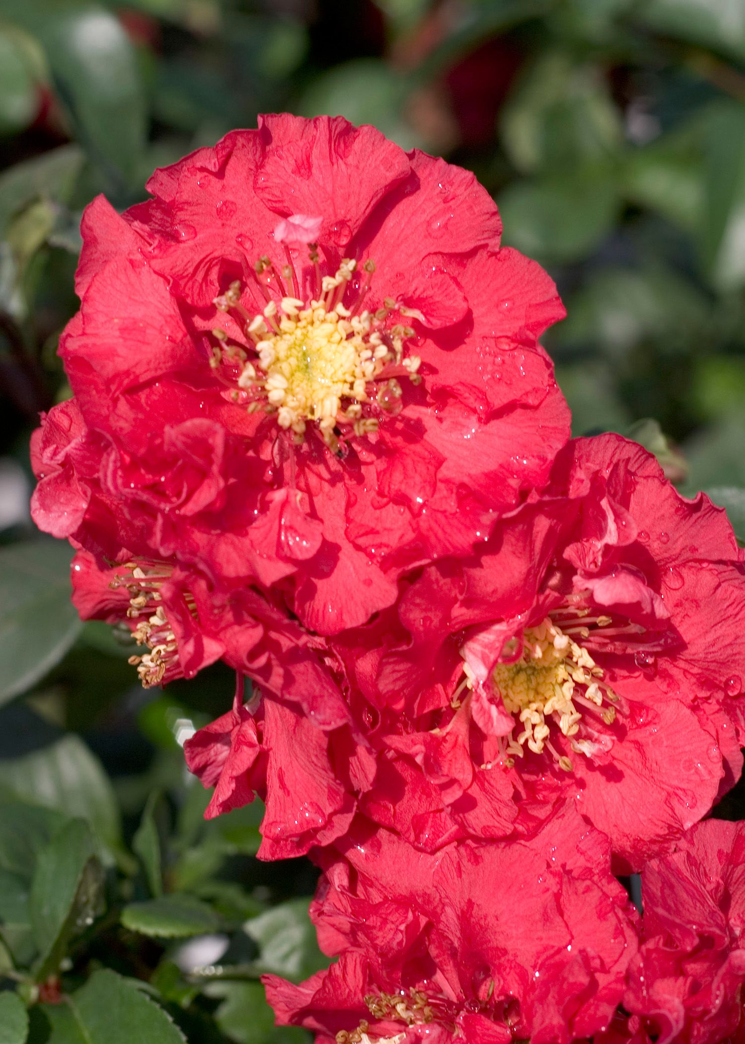 Double Take™ Pink Storm Flowering Quince - Monrovia - Double Take™ Pink Storm Flowering Quince