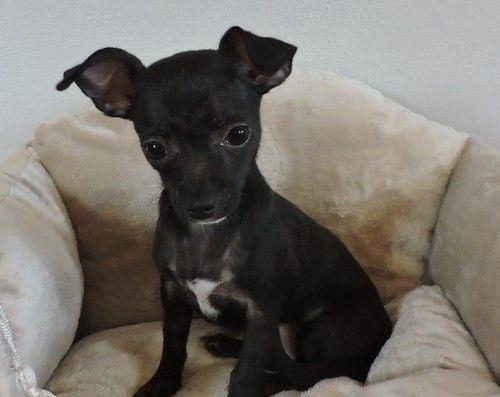 Mini Chihuahua Welpen Rassehunde Chihuahua Welpen Hunde Welpen