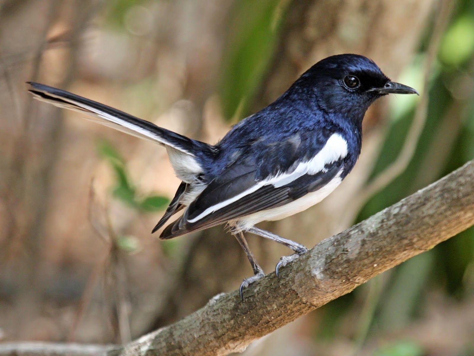 Foto Burung Kacer Magpie Image Magpie Male Bird