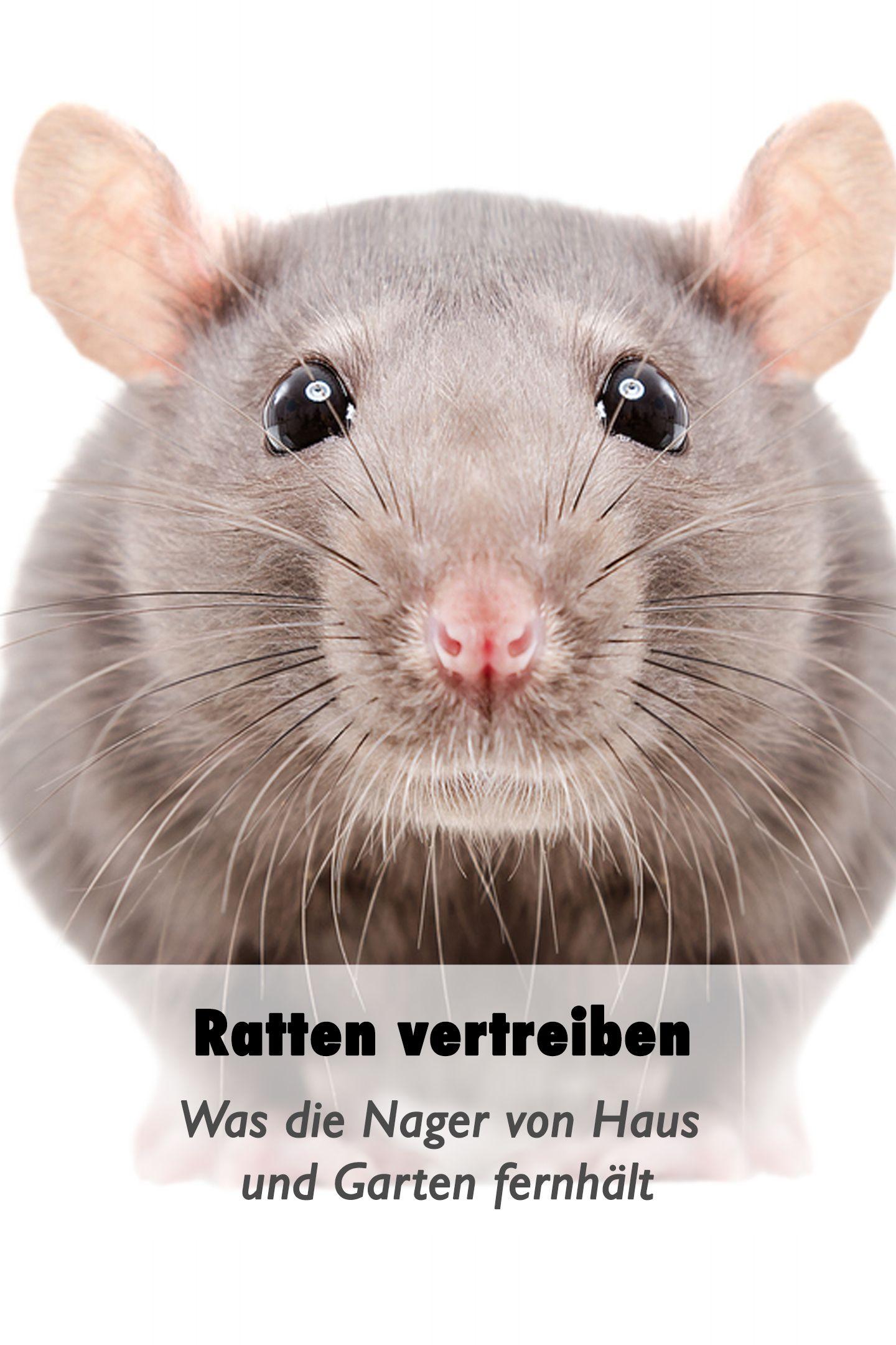 Ratten Vertreiben Was Die Nager Von Haus Und Garten Fernhalt Ratten Vertreiben Vertreiben Paletten Huhnerstall