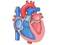 Proyecto Biosfera Galería De Animaciones 1 Sistema Circulatorio Ciencias De La Naturaleza Anatomía Del Corazón