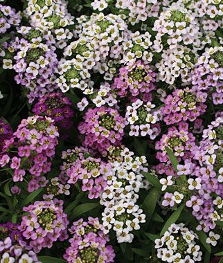 Easter Basket Mix Alyssum Seeds and Plants, Annual Flower Garden at Burpee.com