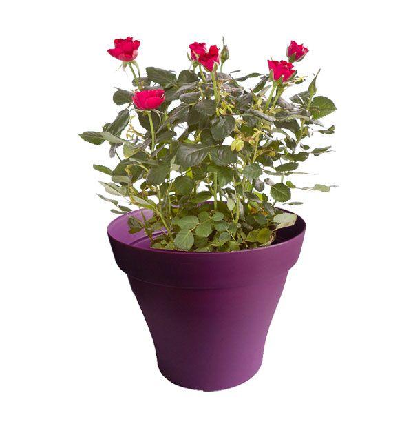 Rosier rose foncé avec cache pot violet   Plantes d\'intérieur avec ...