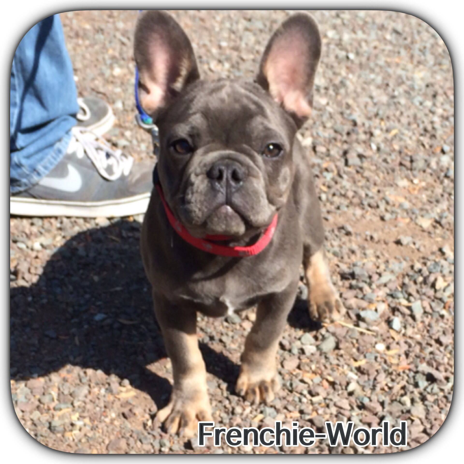 French Bulldog Frenchie Blue And Tan Rare Color Frog Dog Cuddle