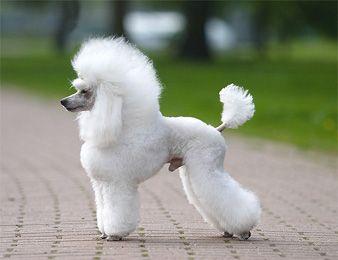 Huxtable The Poodle | Toy Poodle Blog | Parti Poodle ...