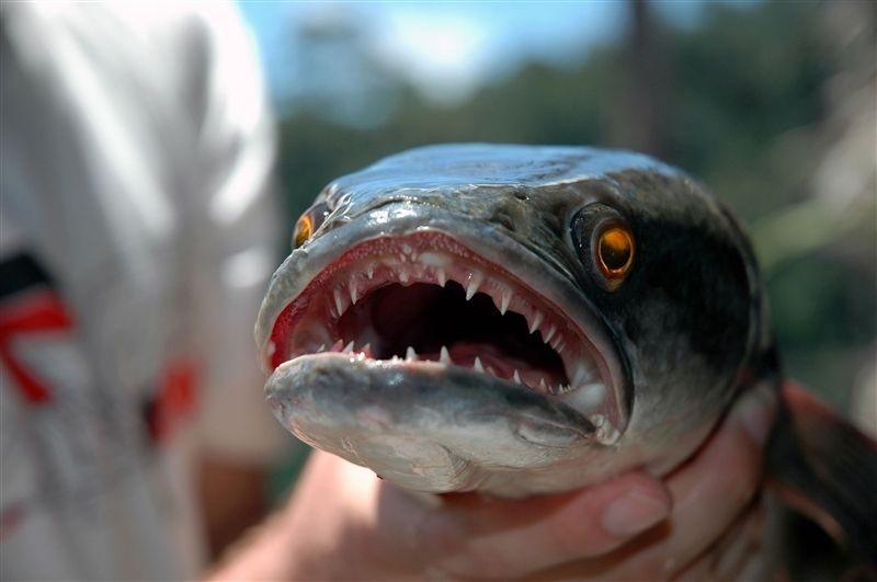 Image results for the snakehead fish