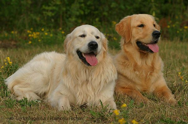 When I Grow Up I M Getting A Big Old Golden Retriever To Keep Me
