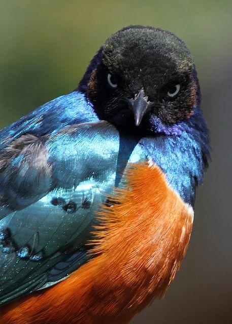 Superb Starling - ©/cc DougWheller www.flickr.com/photos/doug88888/4547298513/