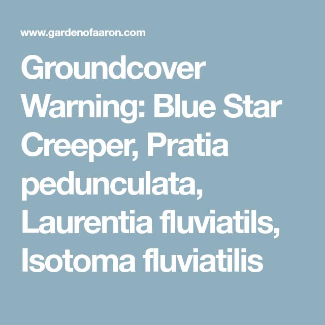 Groundcover Warning Blue Star Creeper Pratia Pedunculata Laurentia Fluviatils Isotoma Fluviatilis Blue Star Creepers Stars