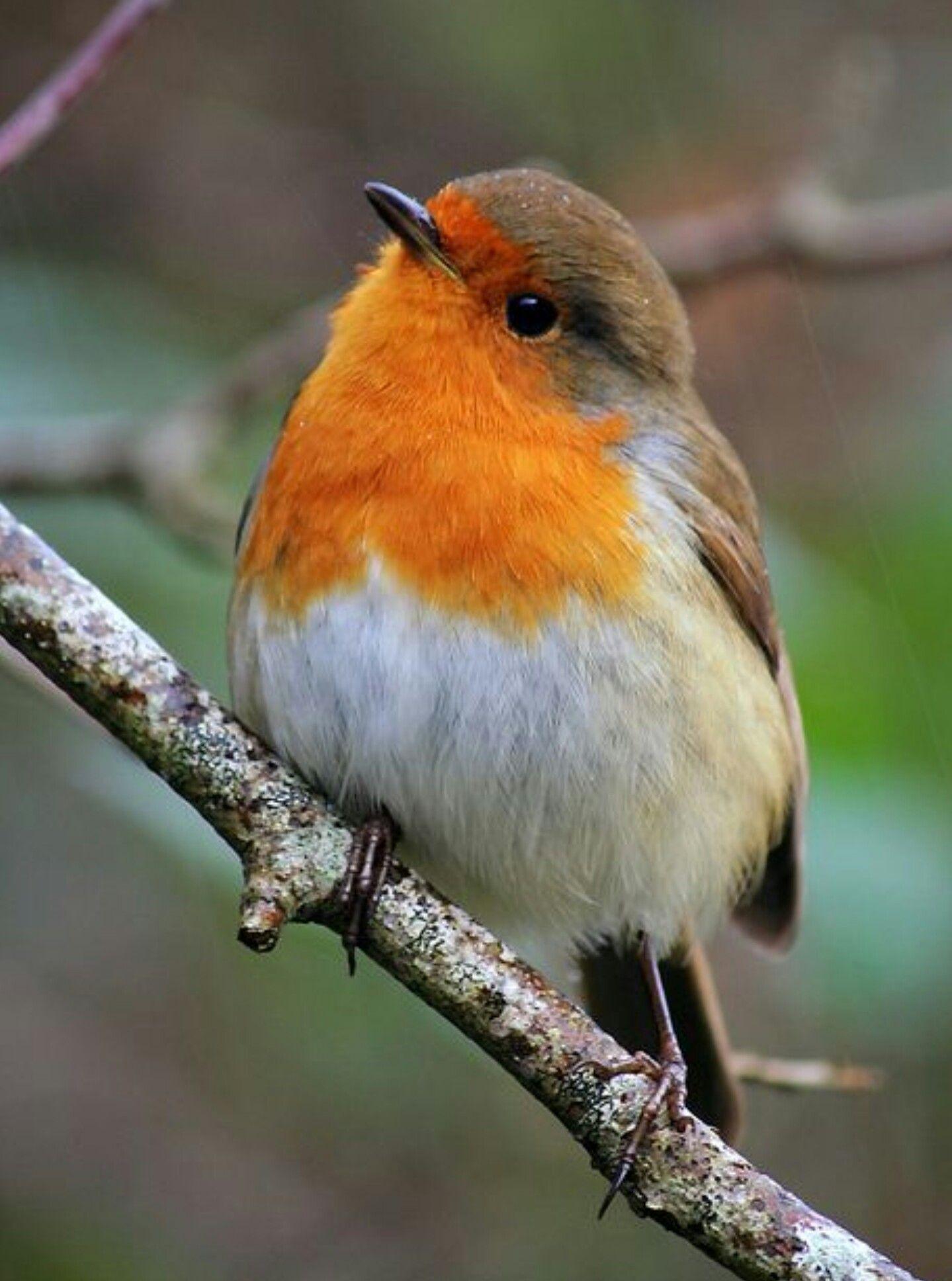 Птица робин фото