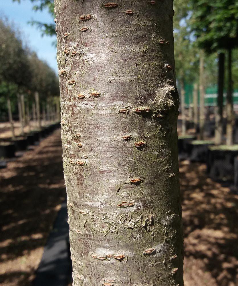 Prunus Serrulata Bark Japanese Tree Tree Prunus Serrulata