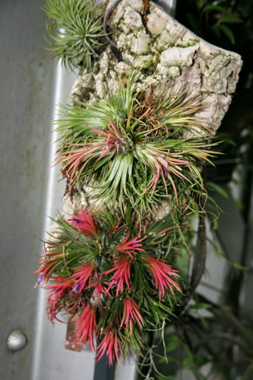 ionantha tillandsia - Google Search