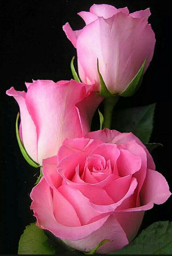 Three roses were bought with you in mind from the song three pink flowers three roses were bought with you in mind from the song three roses by america mightylinksfo