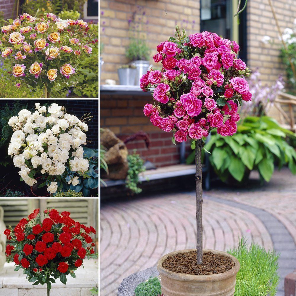 Patio standard roses collection colours cm tall prune rose