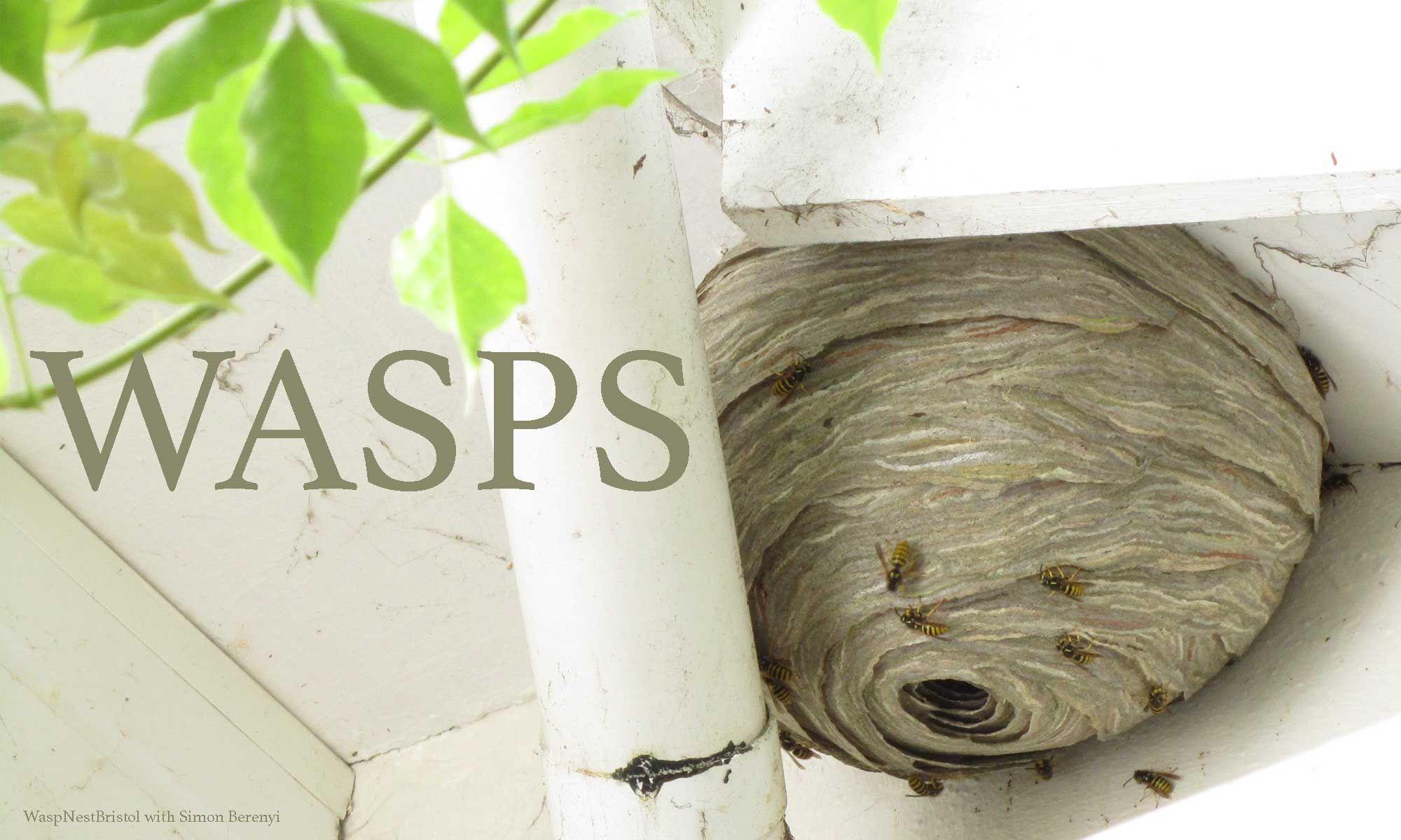 Get rid of wasps 4900 bristol wasp control