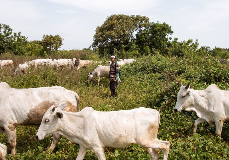 Why It's Now A Crime To Let Cattle Graze Freely In 2