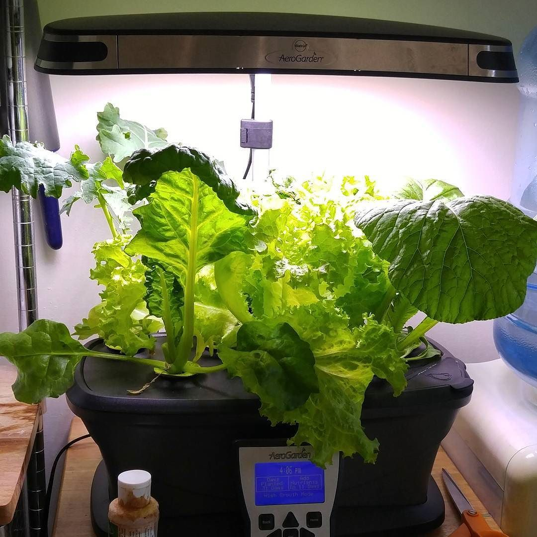 Ready To Start Harvesting At Day 30 Growing Organic Salad 400 x 300
