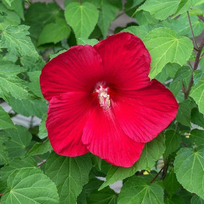 Red Hibiscus Robert Fleming Hibiscus Hardy Hibiscus Side Yard