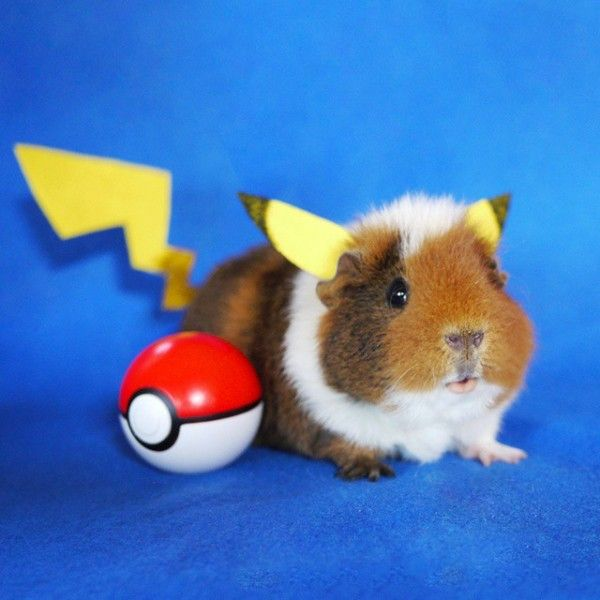 Adorable Guinea Pig Cosplay //geekxgirls.com/article.php? & Adorable Guinea Pig Cosplay http://geekxgirls.com/article.php?ID ...