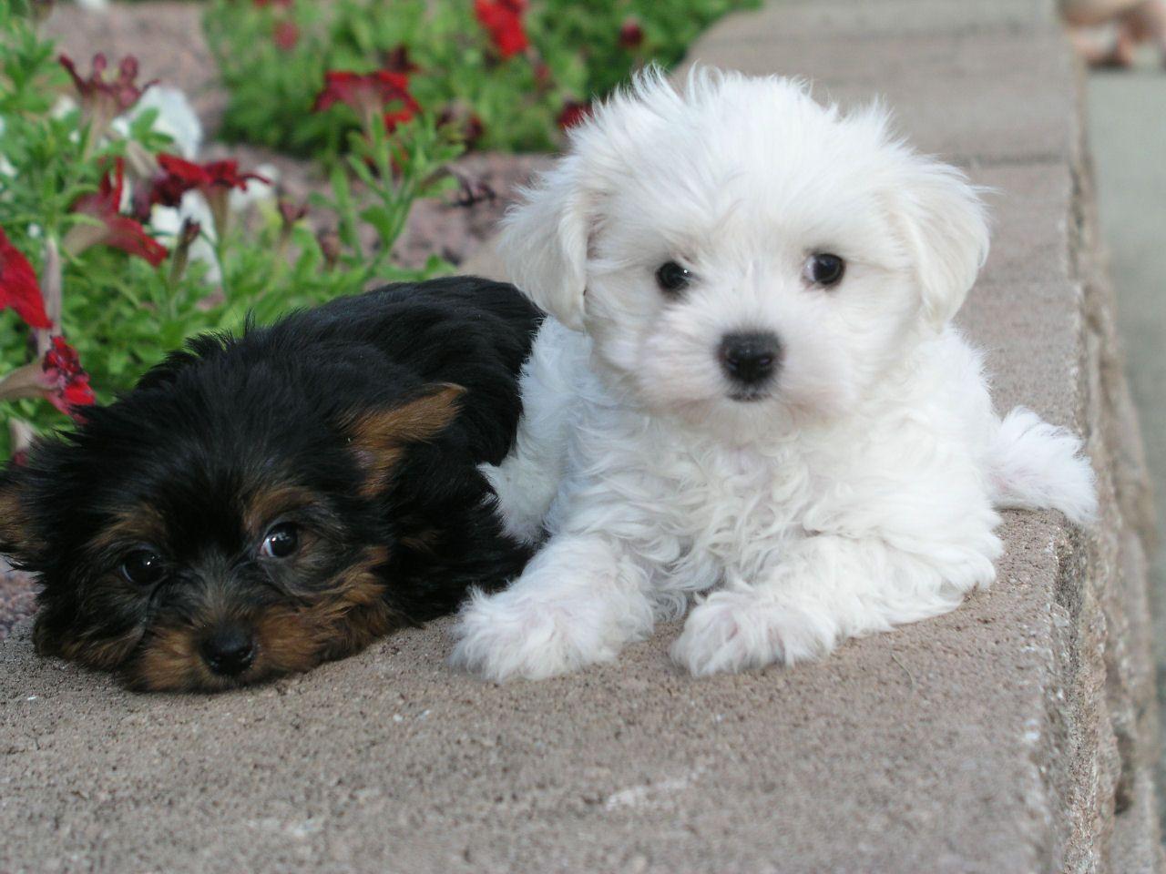 Cute Shih Tzu Puppies Dogs Puppies Puppies Kitties Shih Tzu