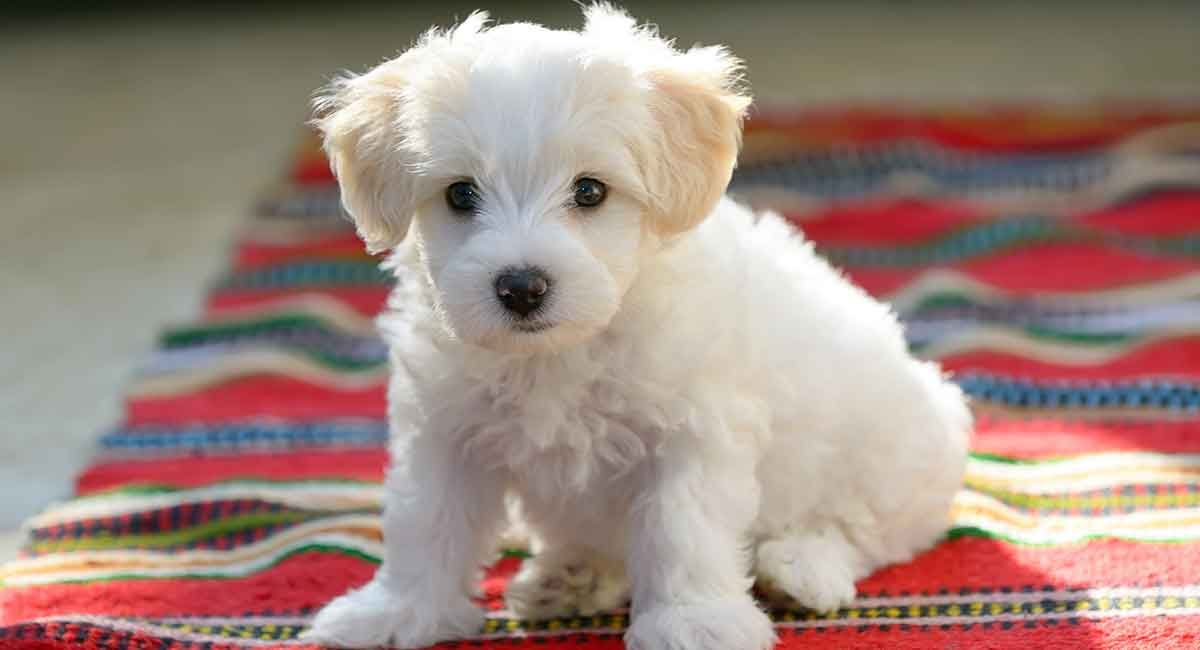 Maltese Temperament Is This Breed Right For Your Family