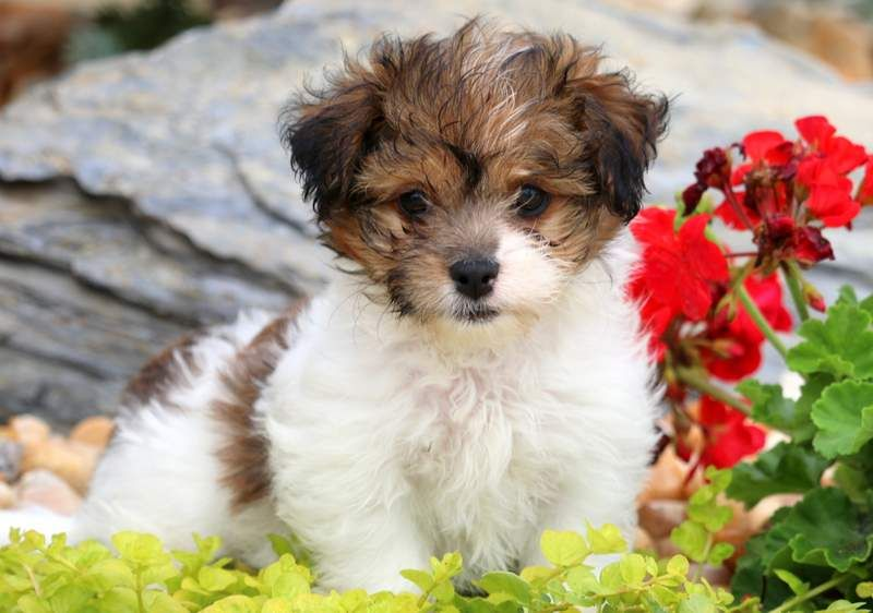 Tessa Mae Havapoo Puppies Puppies For Sale Teacup Puppies