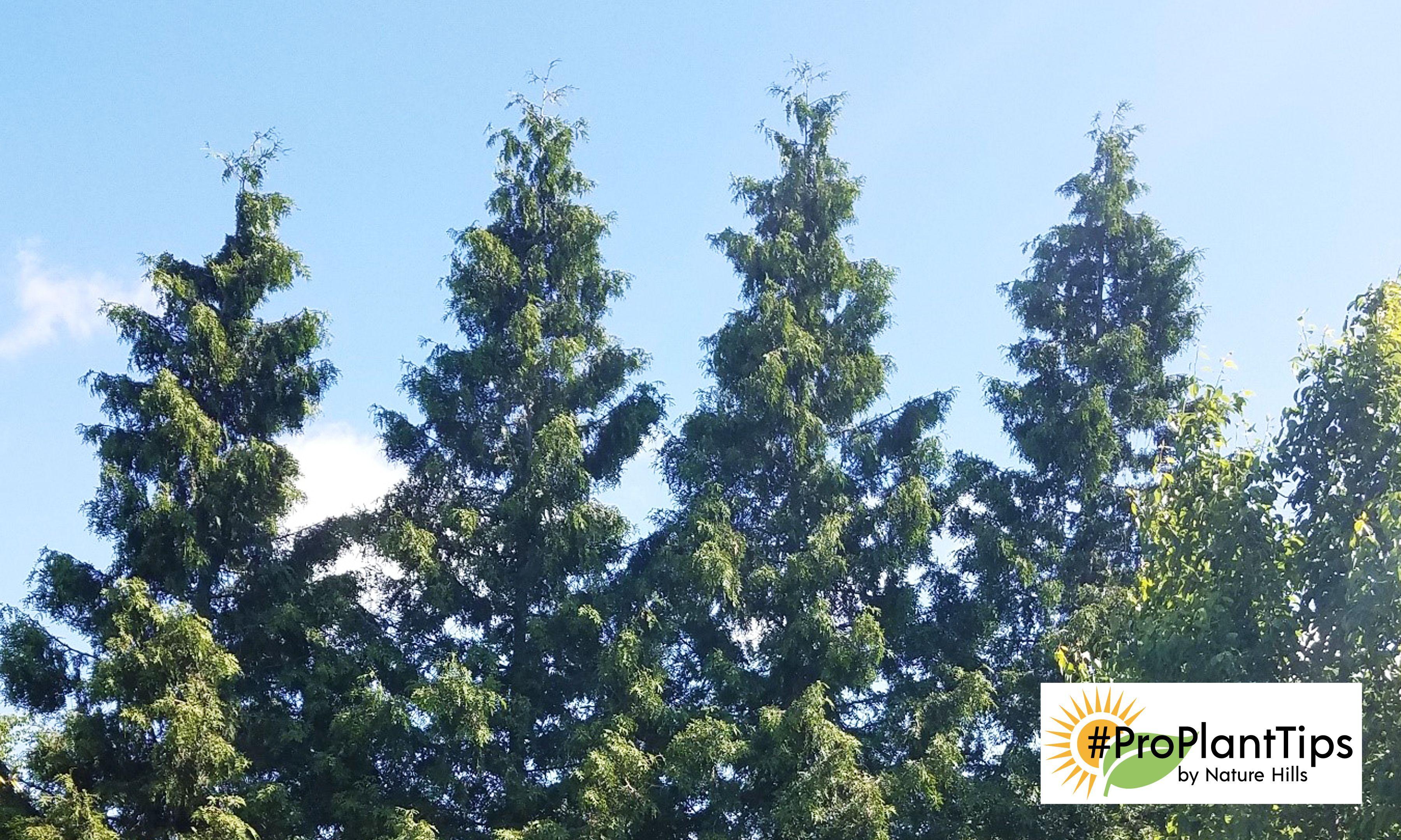 Garden trees for screening  Green Giant Arborvitae  Arborvitae Trees  Pinterest  Green giant