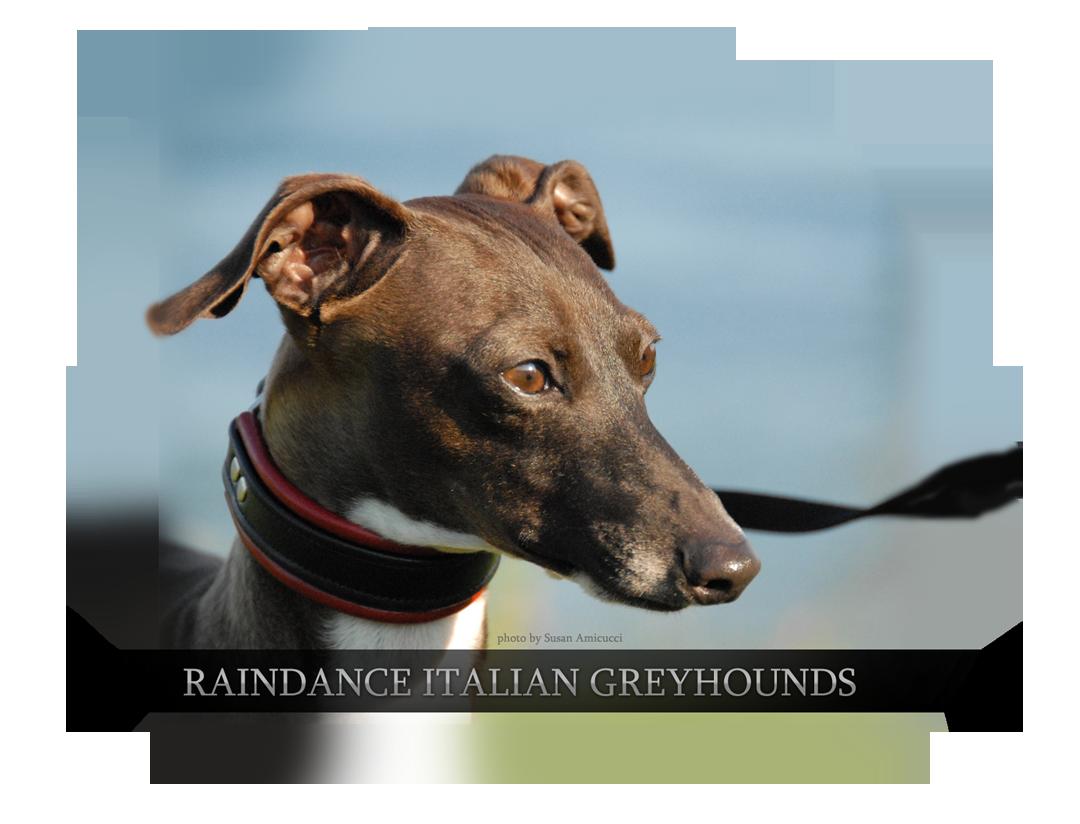 Raindance Italian Greyhounds Ny Italian Greyhound Italian Greyhound Breeders Greyhound