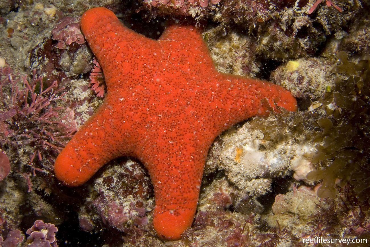 Starfish Anatomy Worksheet   RLS   Petricia vernicina   Astérie ...