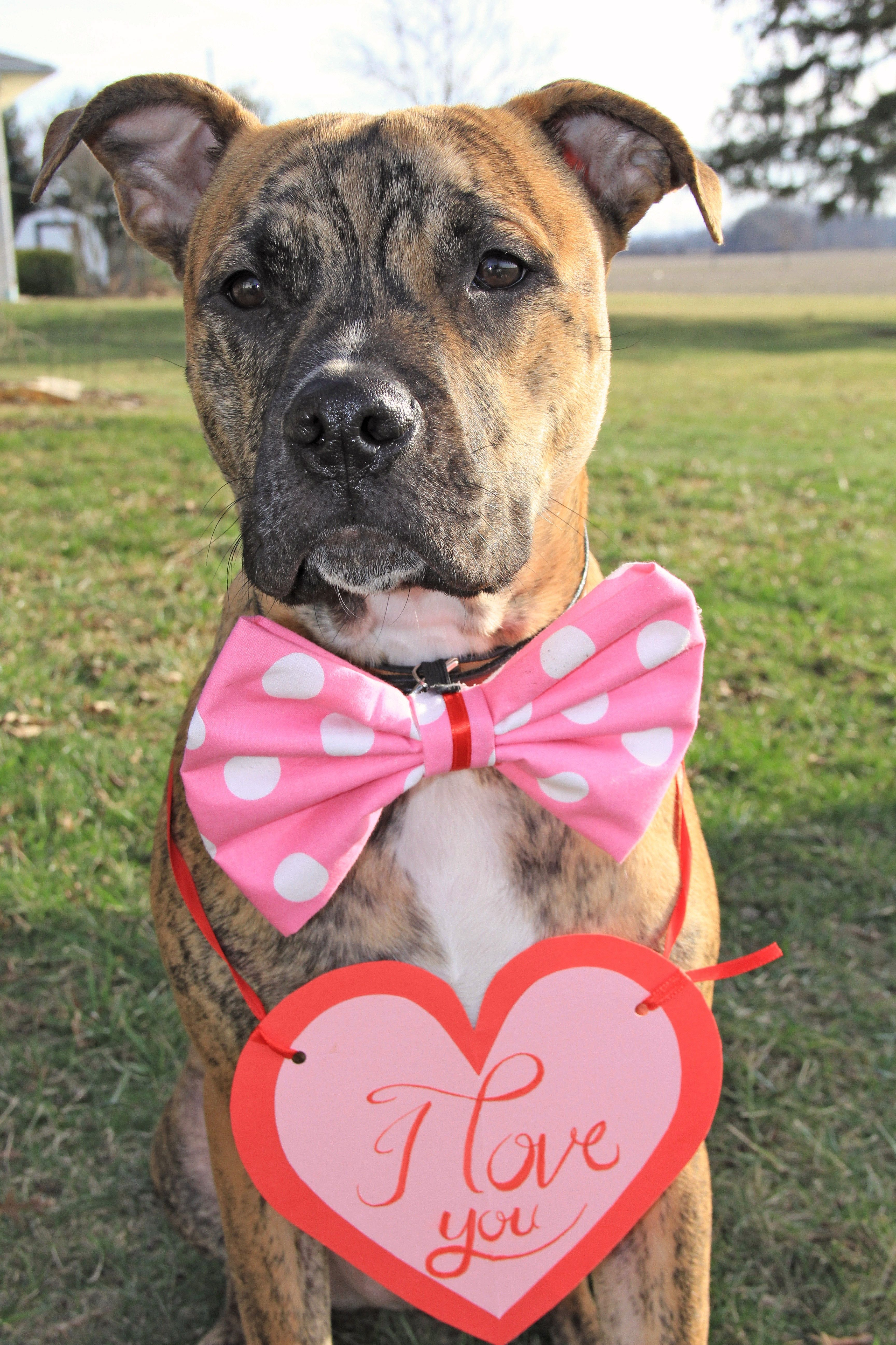 Good Brindle Boxer Bow Adorable Dog - 8c3688eaff35ce3909963f298a40c227  Collection_935142  .jpg