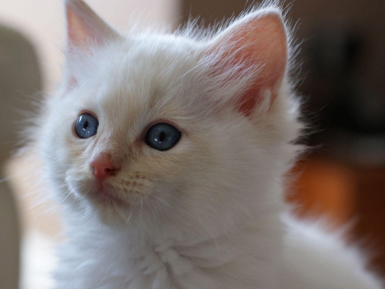 Ragdoll White Kitten Full Pedigree Reduced White Kittens Kittens Animals
