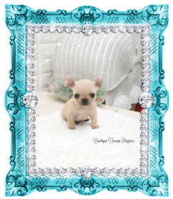 Adorable Lil Zeus Mini Cream French Bulldog Puppy Available! NEW VIDEO!~Reduced~