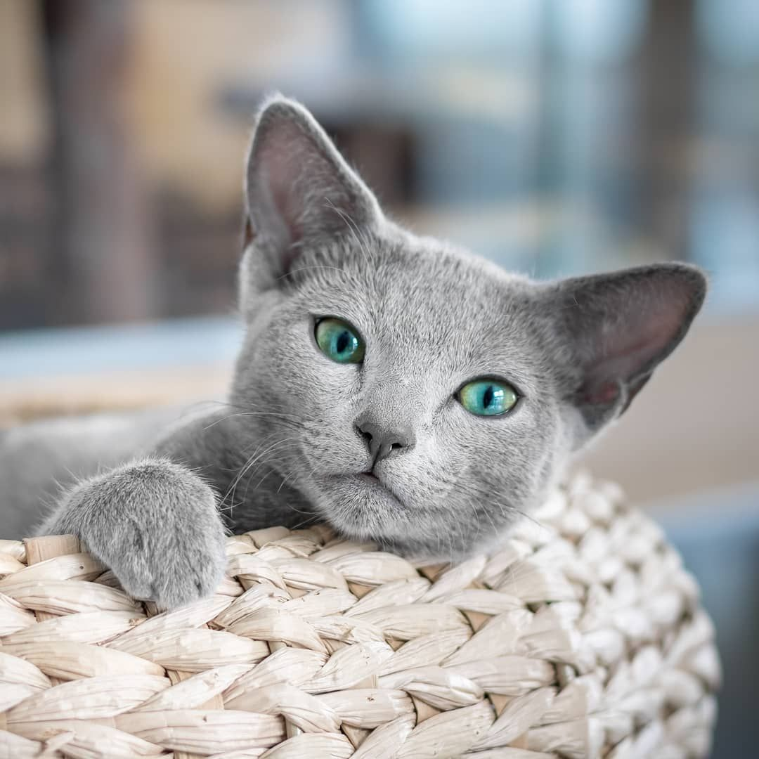 Some Cats Are Worth Melting For Cuteasabutton Happy Throwback Purrsday Everyone Auri S Baby Face Smile Never Fails T Russian Blue Cat Russian Blue Cats