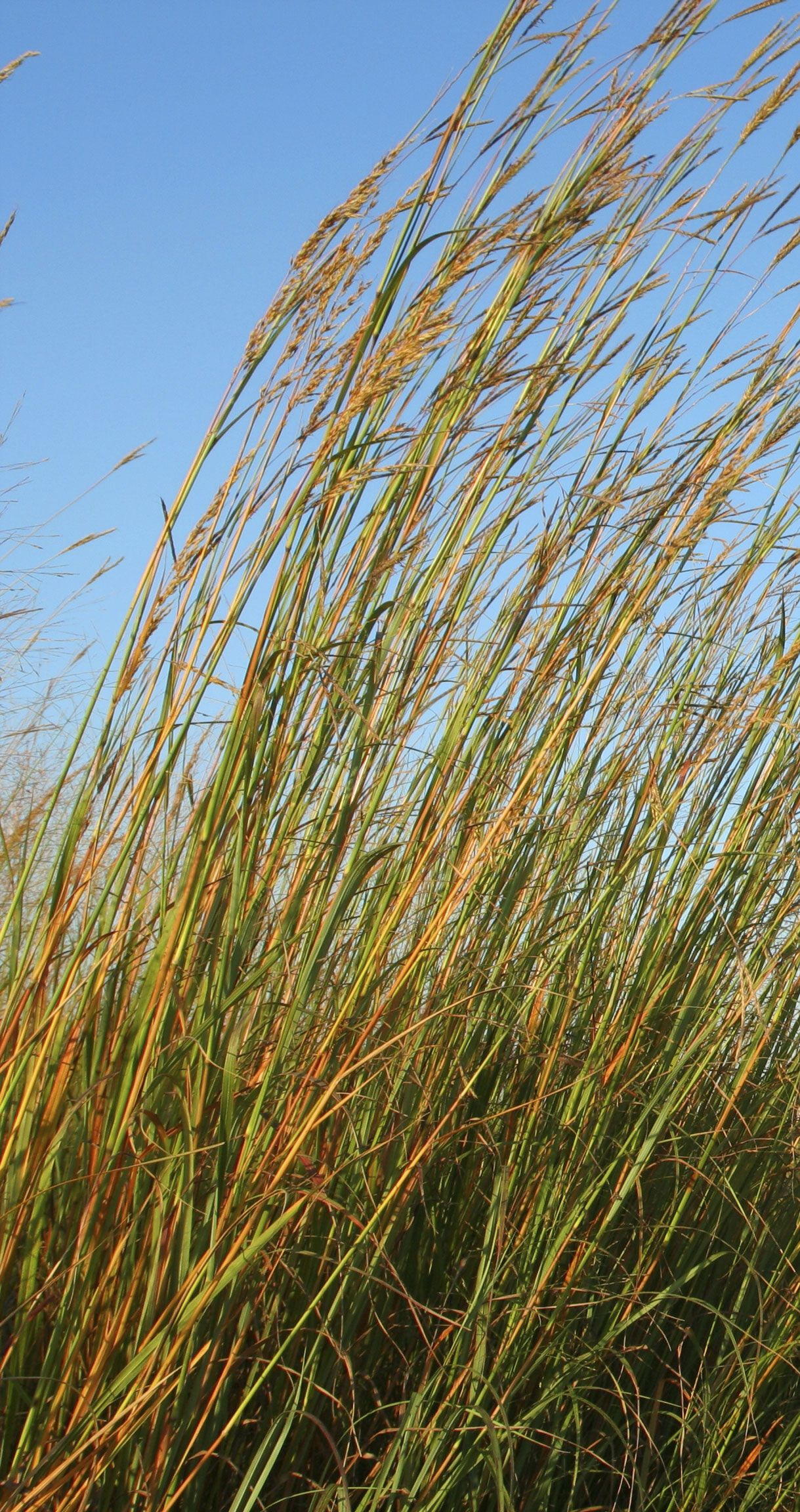 Illinois 39 state prairie grass big bluestem new settlers Long grass plants