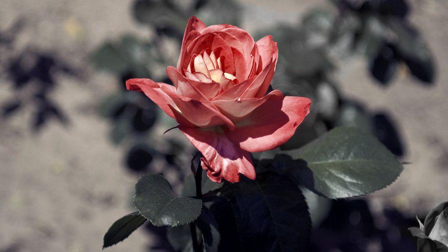 Una Rosa Rosada...