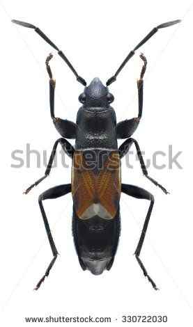 Bug Pterotmetus staphyliniformis on a white background - stock photo