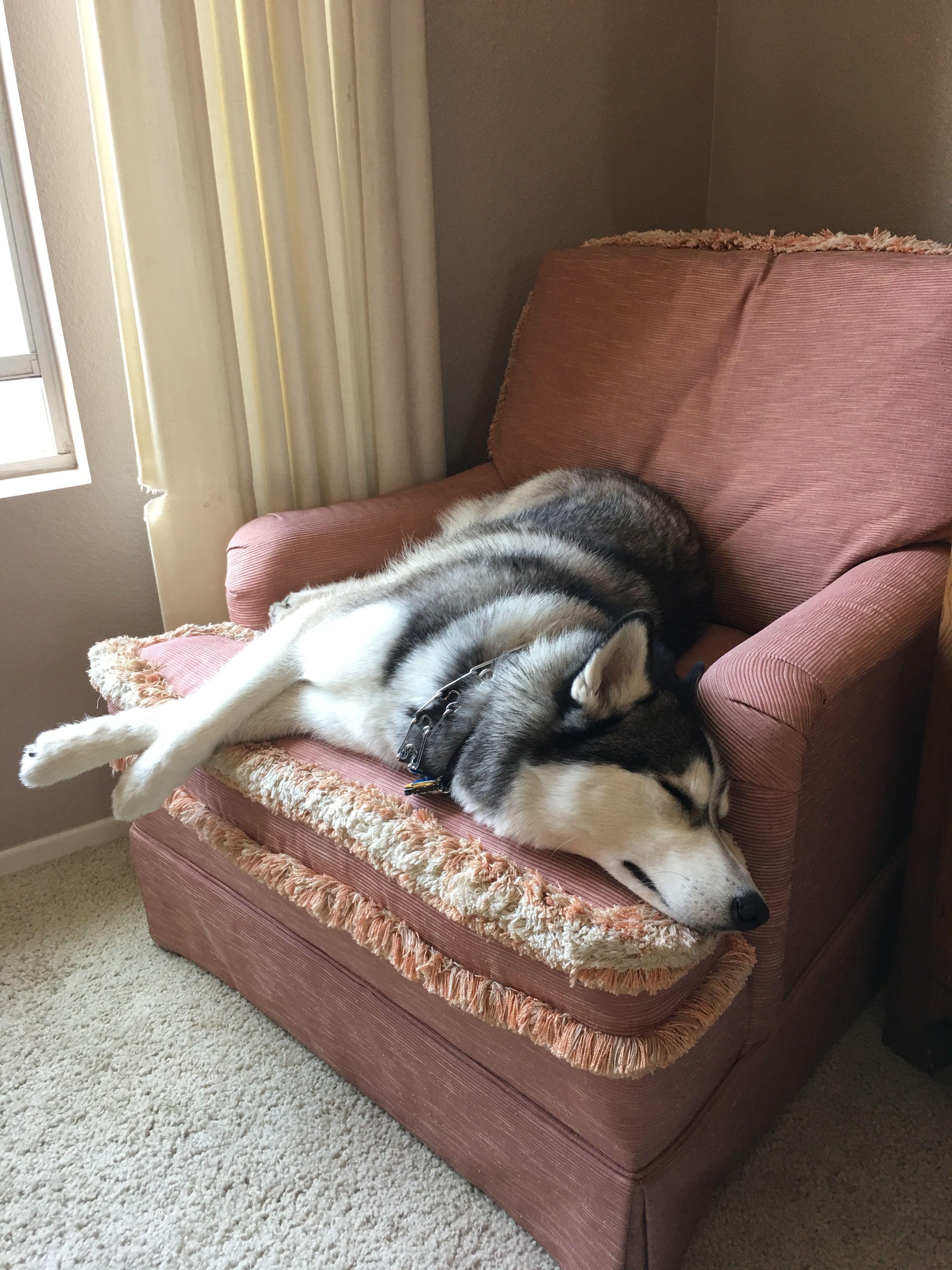 *   My best assistant ever !! ❤️ Bella !! *[Siberian Husky] #SiberianHusky