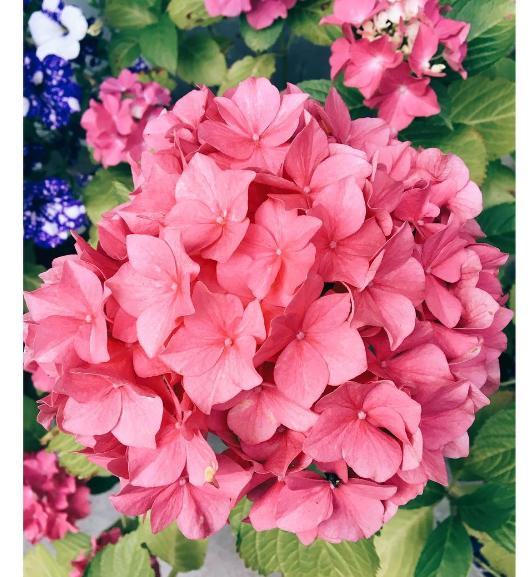 Merritt's Beauty Hydrangea. Taken by PKN.