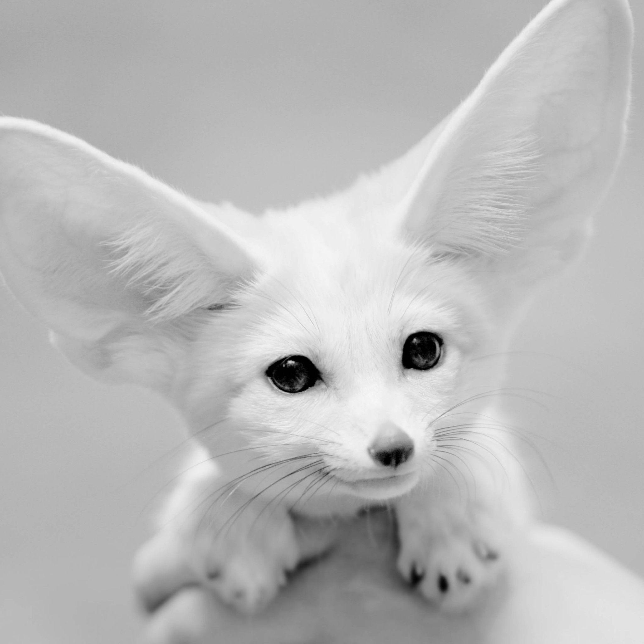 フェネック キツネ 無料壁紙高画質 Ipad タブレット壁紙ギャラリー 可愛すぎる動物 ペット 可愛い 動物