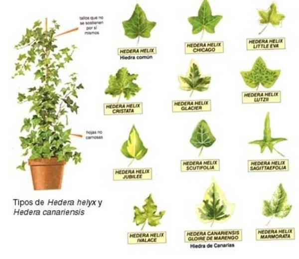 1284774856 Q Vayu56yasmehu9ipec Jpg 600 520 Plantas Medicinales Dibujos De Plantas Medicinales Plantas